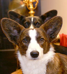 Welsh corgi pembroke and welsh corgi cardigan