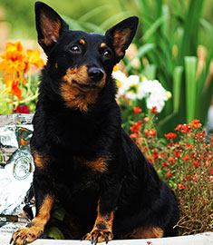Lancashire Heeler Swanndale HAPPY TIME