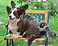 welsh corgi cardigan picture