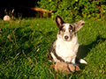 welsh corgi cardigan photo
