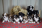 Welsh corgi cardigan puppies in Zamok Svyatogo Angela