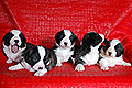 Welsh corgi cardigan puppies of Zamok Svyatogo Angela Kennel