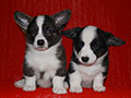 Welsh corgi cardigan puppies of Zamok Svyatogo Angela Kennel: boys LUSIN and LEO