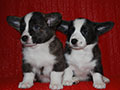 Welsh corgi cardigan puppies of Zamok Svyatogo Angela Kennel: boy LUSIN and girl LILU