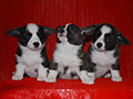 Welsh corgi cardigan puppies of Zamok Svyatogo Angela Kennel: boys  LEO, LUSIN and LARION