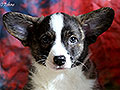 Welsh corgi cardigan puppy boy Zamok Svyatogo Angela LUSIN