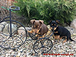 Lancashire heeler puppies in Russia