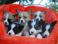 welsh corgi cardigan puppies
