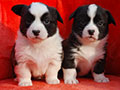 welsh corgi cardigan puppies girls